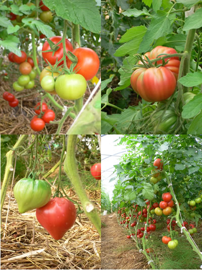 just a few of the tomato varieties at the pick-your-own farm