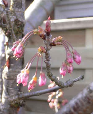 cherry blossom about to burst